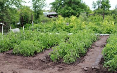 Tomato Fertilizer: Does Powdered Milk Work as a Tomato Nutrient?