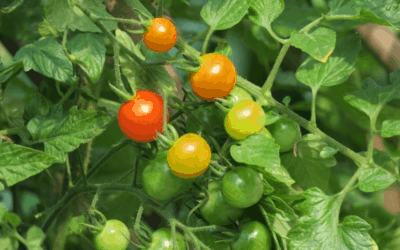 Growing Tomatoes: Preventing Fertilizer Burn on Tomatoes