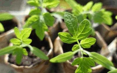 Tomato Fertilizer: Best Nutrients for Tomato Seedlings