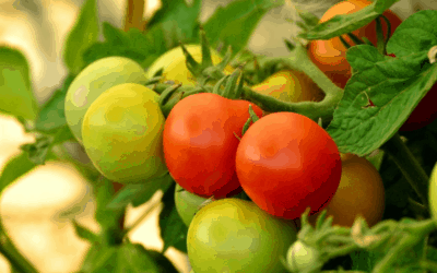 Growing Tomatoes: DIY Tomato Cages
