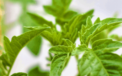 Tomato Fertilizer: The Effects of High Nitrogen on Tomato Plants