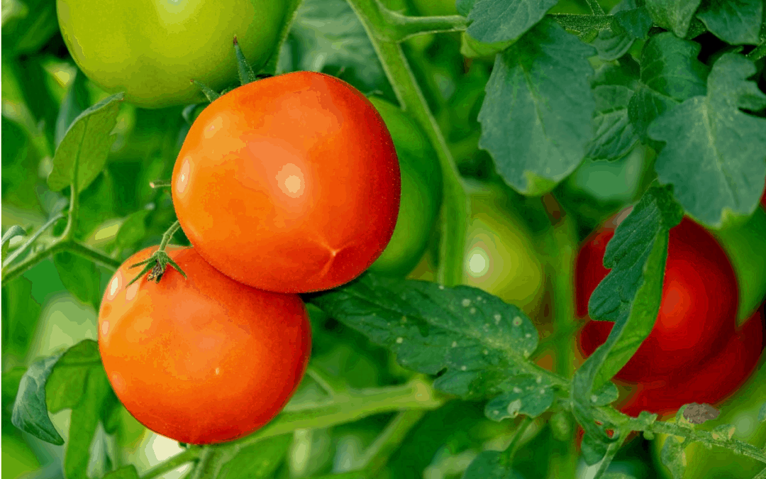 Does Tomato Fertilizer Expire?