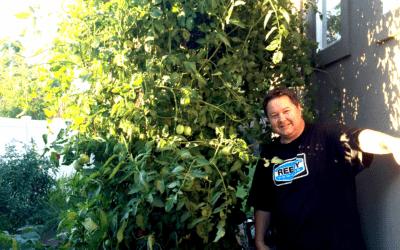 Tomato Fertilizer:  How to Grow Big Tomatoes